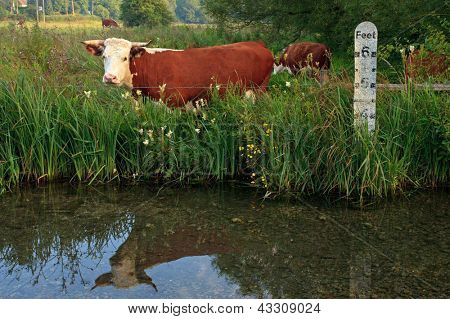 Horned Hereford cow standing in a field besides a river with a depth marker, it's reflection in the still water.