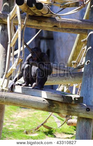 Bonobos Monkeys