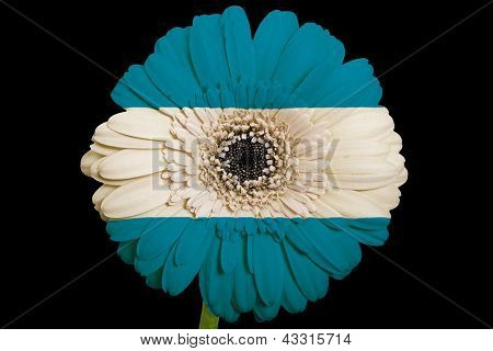 Gerbera Daisy Flower In Colors  National Flag Of El Salvador    On Black Background
