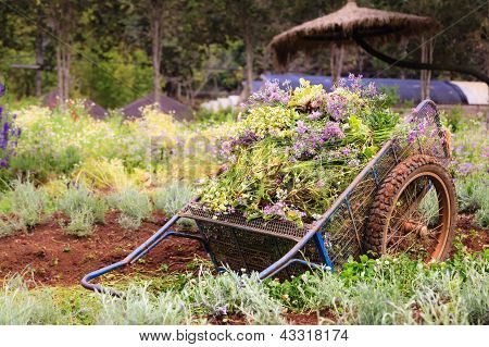 An Old Pushcart In The Flowers Field