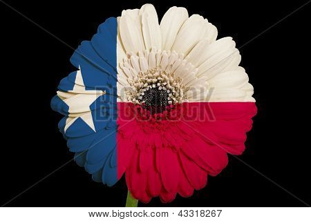 Gerbera Daisy Flower In Colors  Flag Of American State Of Texas    On Black Background