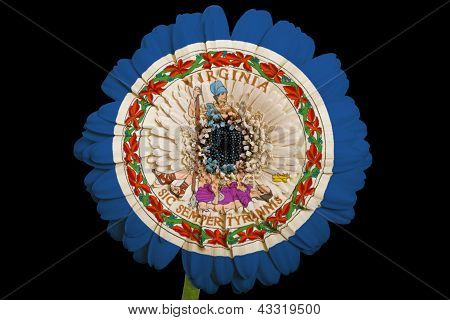 Gerbera Daisy Flower In Colors  Flag Of American State Of Virginia    On Black Background