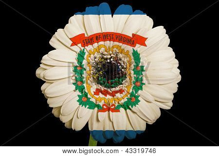 Gerbera Daisy Flower In Colors  Flag Of American State Of West Virginia    On Black Background