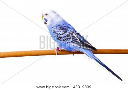 Budgerigar On Branch