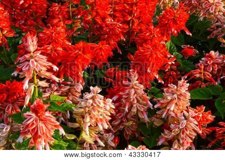 Red And Pink Persicaria Flowers