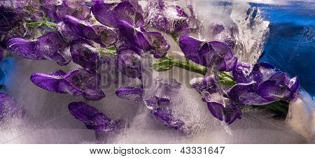 Background Of Aconite Flower Frozen In Ice