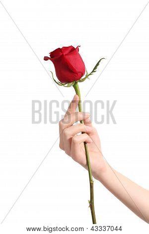 Bela mulher mão segurando uma rosa vermelha