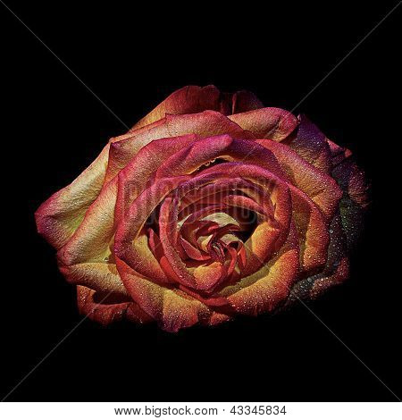 flower rose in color scope water