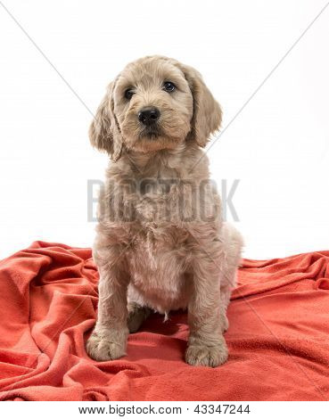 Blond Labradoodle