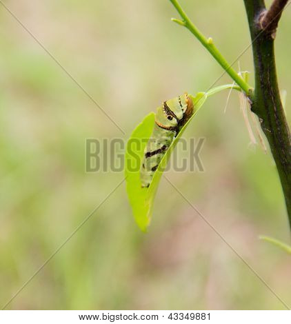 Caterpillar eat leaf