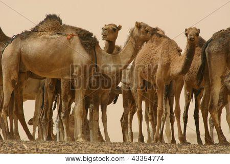 Camel,  Remuda, Mali, Africa