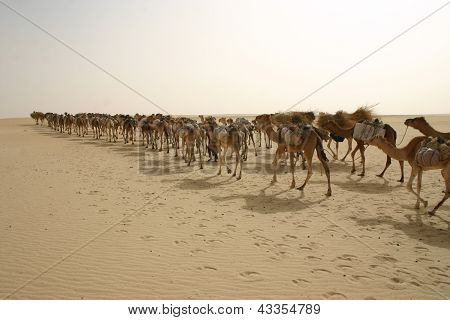 A camel caravan in the Sahara Desert