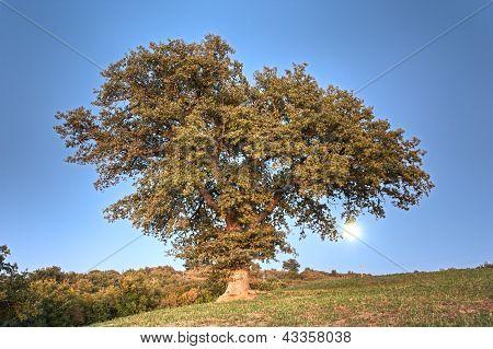 Oak On The Hill