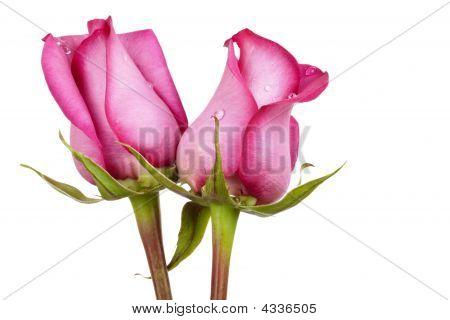 New Love Roses