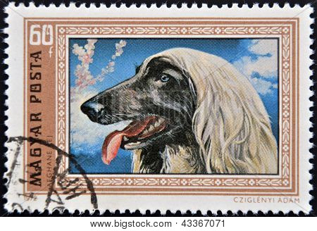 stamp printed in Hungary shows an Afghan Hound