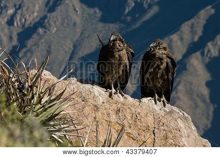 2 Young Condors