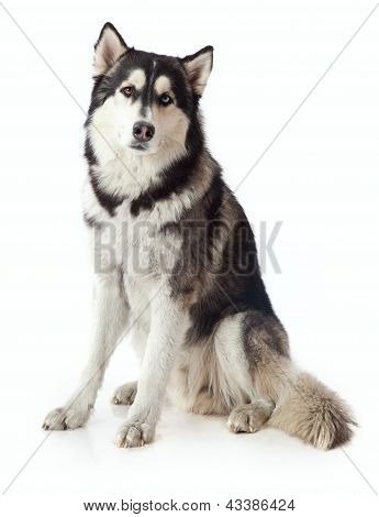 Adult Male Husky