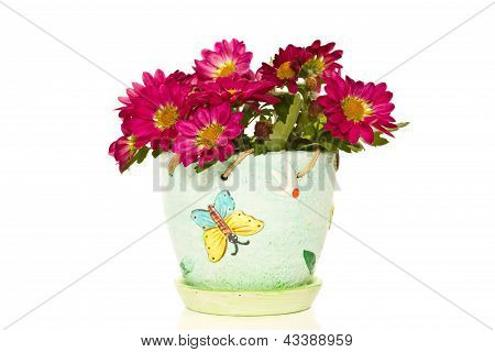 Blooming Chrysanthemums In A Pot