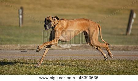 Um Dogue alemão correndo em passo médio