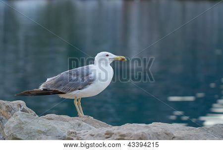 Seagull Side View