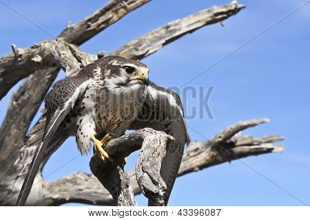A Prairie Falcon Against A Blue Sky
