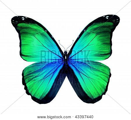 Morpho Turquoise Green Butterfly , Isolated On White