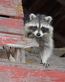 stock photo of raccoon  - A raccoon looks for a hiding place in a barn - JPG