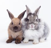 foto of cony  - Two rabbits bunny isolated on white background - JPG