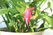 stock photo of schlumbergera  - Fine pink flower of Schlumbergera in a flowerpot - JPG