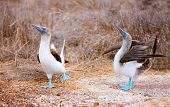 picture of blue footed booby  - Couple of blue footed boobies performing mating dance - JPG