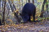 image of razorback  - Wild boar foraging in forest in Poland - JPG