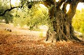 stock photo of grease  - Mediterranean olive field with old olive tree ready for harvest - JPG