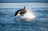 picture of endangered species  - Killer whale - JPG