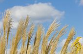 image of pampas grass  - This is a picture of an ear of pampas grass and blue sky - JPG