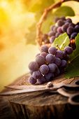 stock photo of wooden basket  - Fresh harvest of grapes - JPG