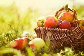 stock photo of orchard  - Organic apples in basket in summer grass - JPG