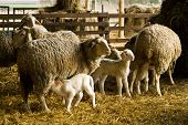 image of lactation  - sheep and lambs in a barn on a farm - JPG
