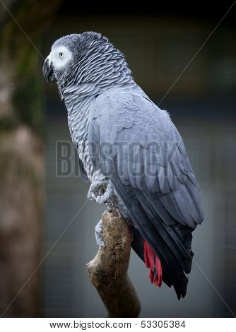 Grey-winged Macaw, Ara chloropterus