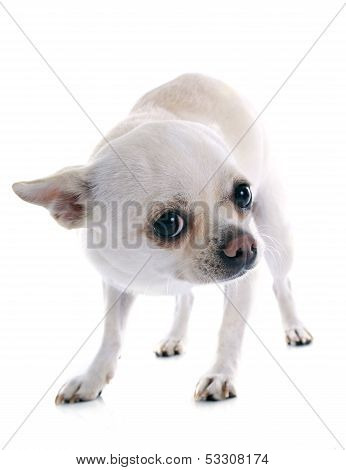 Afraid Chihuahua