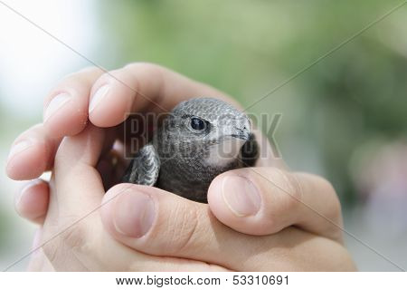 Nestling swift sits on the palm