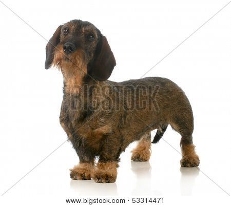 dachshund standing looking up isolated on white background