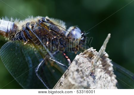 Broad-bodied Chaser - super macro