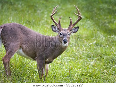 White-tailed Buck On The  Prowl