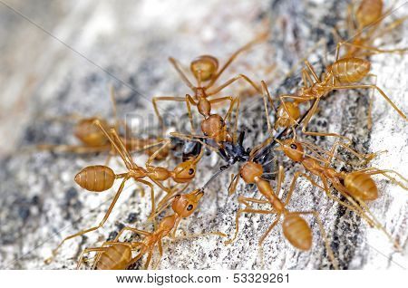 weaver ants fight the black ant