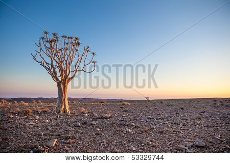 Generic Desert Scene With Quiver Tree At Sunrise