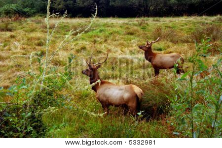 Elk Bucks