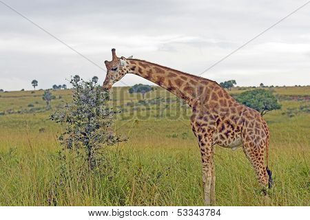 Giraffe Eating On The African Savannah