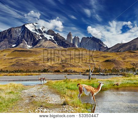 Guanaco in Torres del Paine National Park, Patagonia, Chile