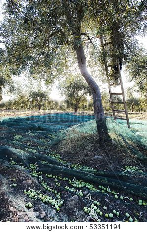 olive tree during the harvest