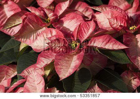 white poinsetta plants background